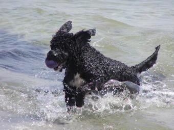 Spanischer Wasserhund beim spielen