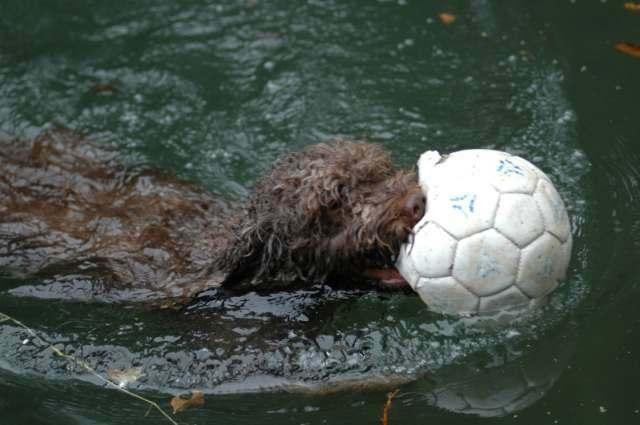 Spanischer Wasserhund Bilder
