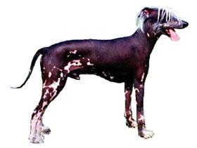 Peruanischer Nackthund Grosse Fotos
