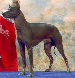 Peruanischer Nackthund Grosse Bilder