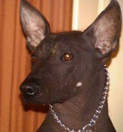 Peruanischer Nackthund Grosse