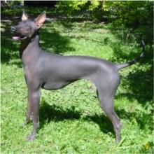 Fotos von Peruanischer Nackthund Grosse