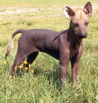 Bilder von Peruanischer Nackthund Mittel