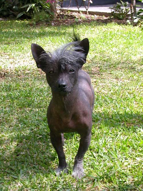 Peruanischer Nackthund Mittel Bilder