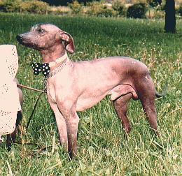 Peruanischer Nackthund Mittel Fotos