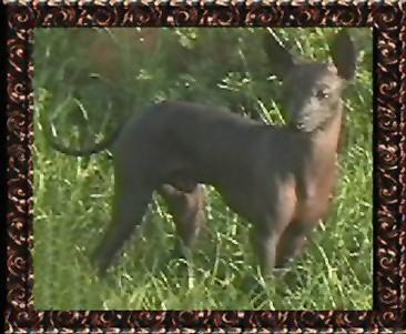 Peruanischer Nackthund Kleine Bilder