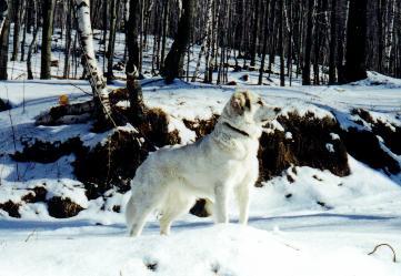 Pyrenäenberghund im Wald