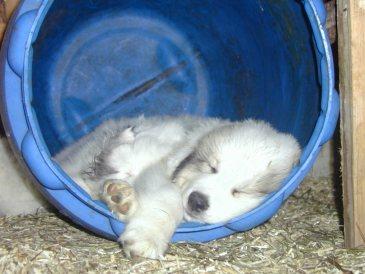 Pyrenäenberghund Welpe Bilder
