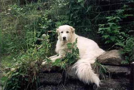 Pyrenäenberghund Rüde