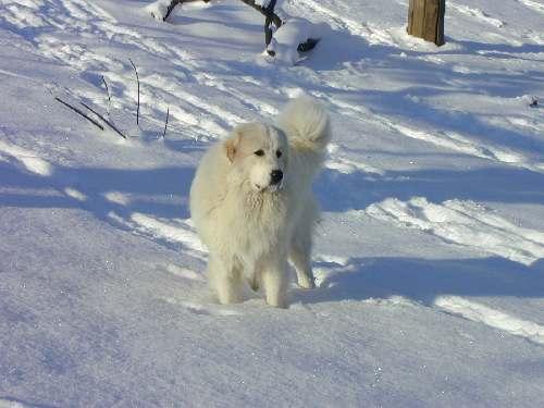Pyrenäenberghund im Schnee