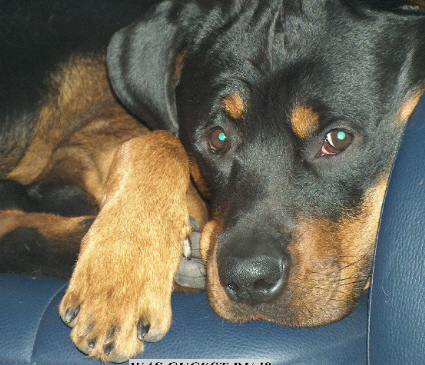 Rottweiler Welpe Bilder