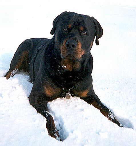 Rottweiler im Schnee