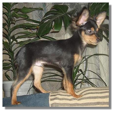 long hair russian toy terrier