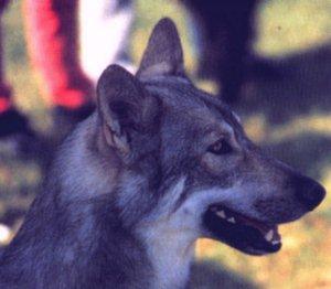 Saarlooswolfhund Bilder