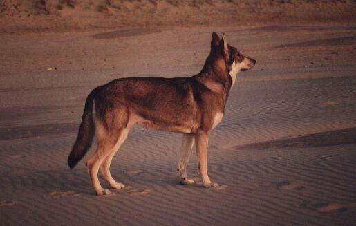 Saarlooswolfhund bei der Jagd