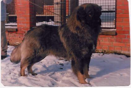Sarplaninac Fotos - Jugoslavischer Hirtenhund