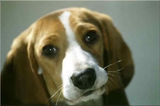 Schwyzer Niederlaufhund Portrait