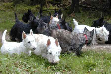 Scottish Terrier Foto