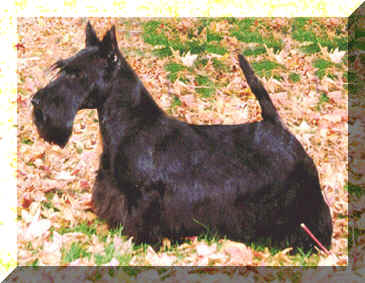 Fotos von Scottish Terrier