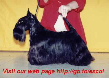 Scottish Terrier Bilder