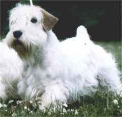 Sealyham Terrier Bilder