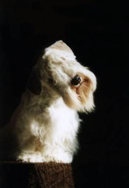 Sealyham Terrier Foto