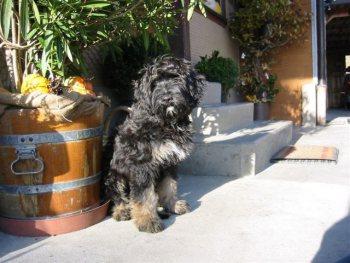 Cão da Serra de Aires Fotos