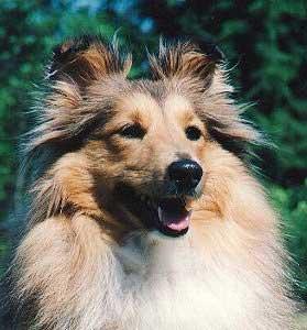 Shetland Schäferhund Bilder