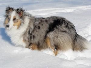 Shetland Schäferhund Foto
