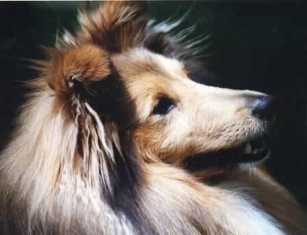 Shetland Schäferhund