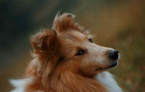 Shetland Schäferhund Fotos