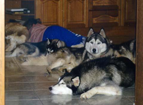 Siberian Husky im 4er Pack