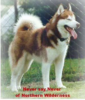 Siberian Husky Rüde Portrait