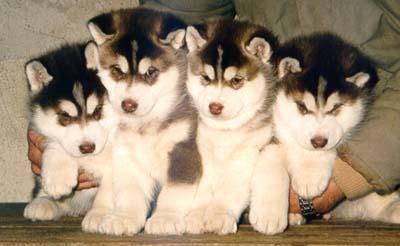 Siberian Husky Welpen Bilder