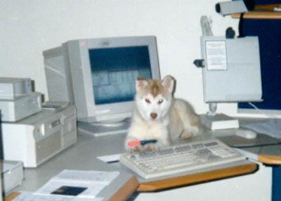Bilder von Siberian Husky Welpe
