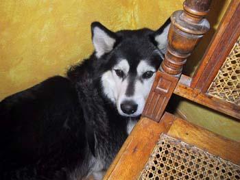 Siberian Husky Rüde