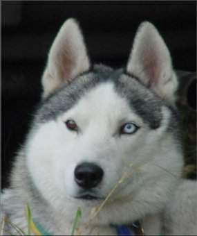 Siberian Husky Männchen