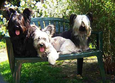 Skye Terrier Foto