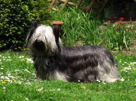 Skye Terrier Bilder