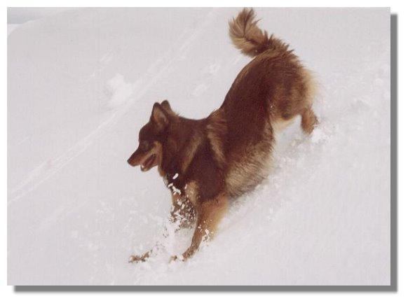 Finnischer Lapphund Bilder