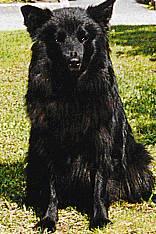 Schwedischer Lapphund Bilder