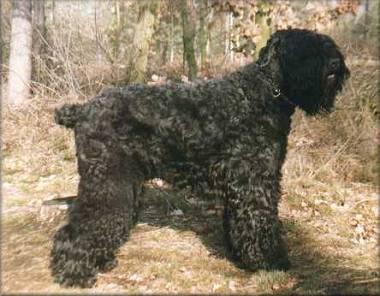 Schwarzer Russischer Terrier Bilder