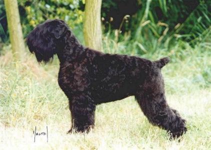 Schwarzer Russischer Terrier
