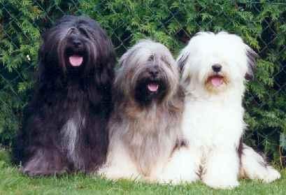Tibetan Terrier im 3er Pack