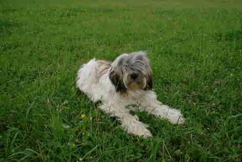 Tibet Terrier auf dem Rasen