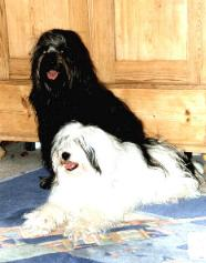 Tibet Terrier im 2er Pack