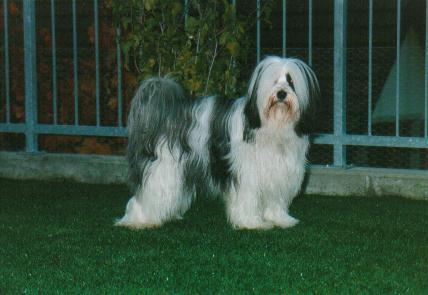 Tibet Terrier Bilder