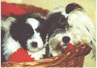 Tibet Terrier Welpen Bilder