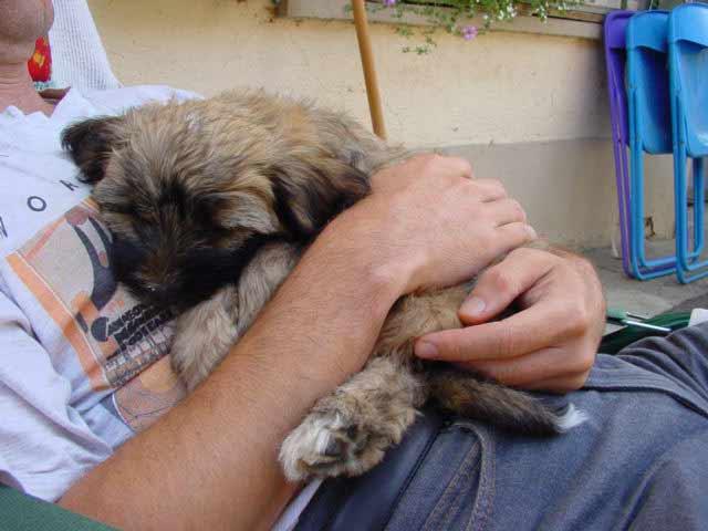 Tibet Terrier Welpe Bilder Familie