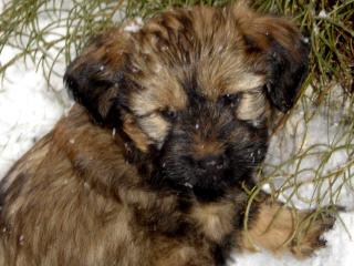 Tibet Terrier Welpe Bilder